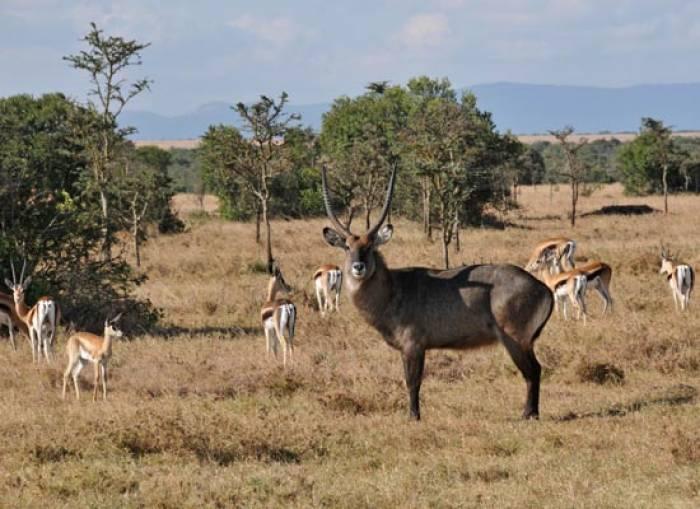 Masai Mara Gazeller