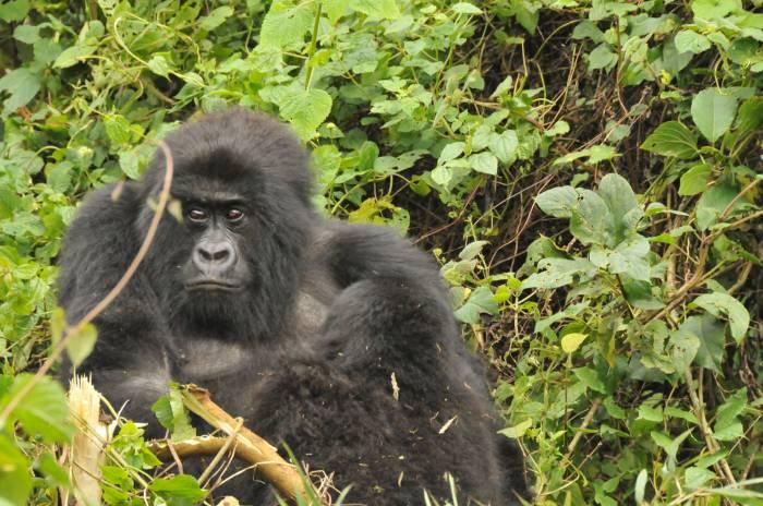 Uganda-Gorilla-Trekking