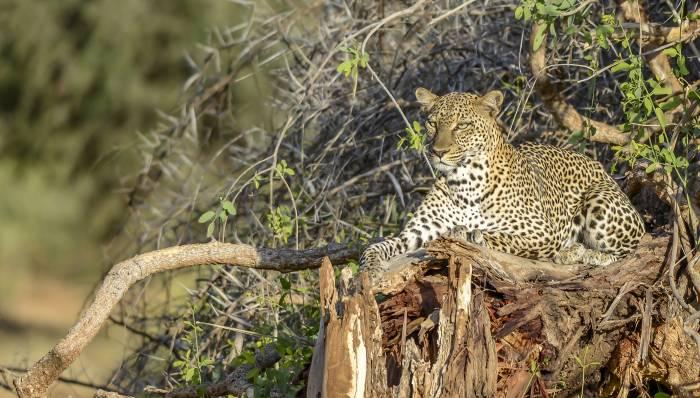 Safarirejse leopard
