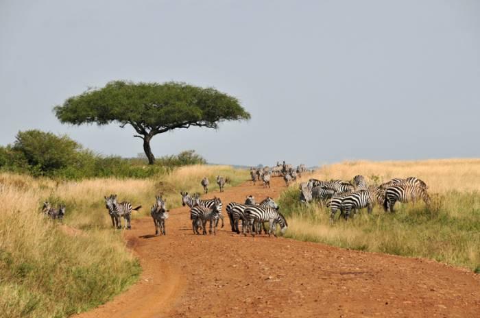 Zebraer-i-Tanzania