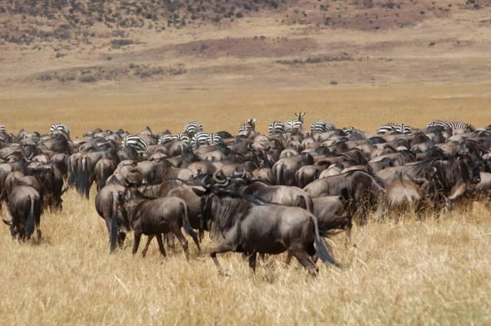 Gnuer-paa-migration-paa-Serengeti