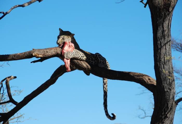bjerge-savanne-leopard