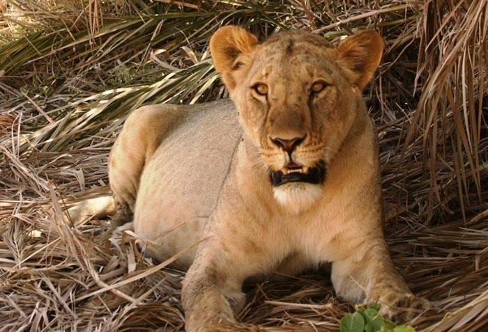 bjerge-savanne-loeve