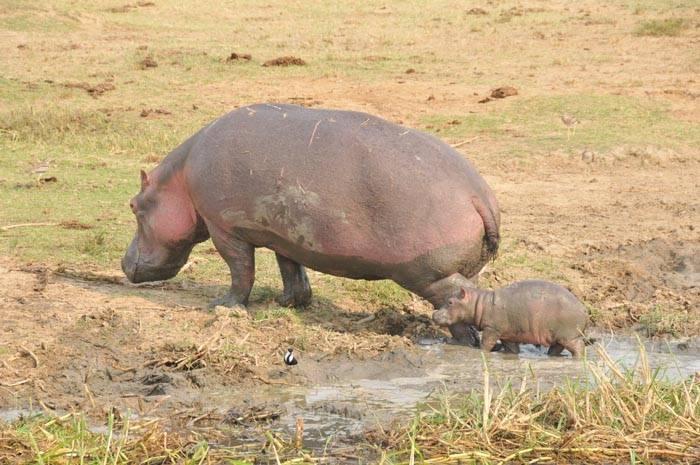 bjerge-savanne-flodhest-unge