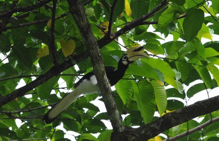 Rasa RIa Borneo, Bunga Raya Borneo Gayana Borneo