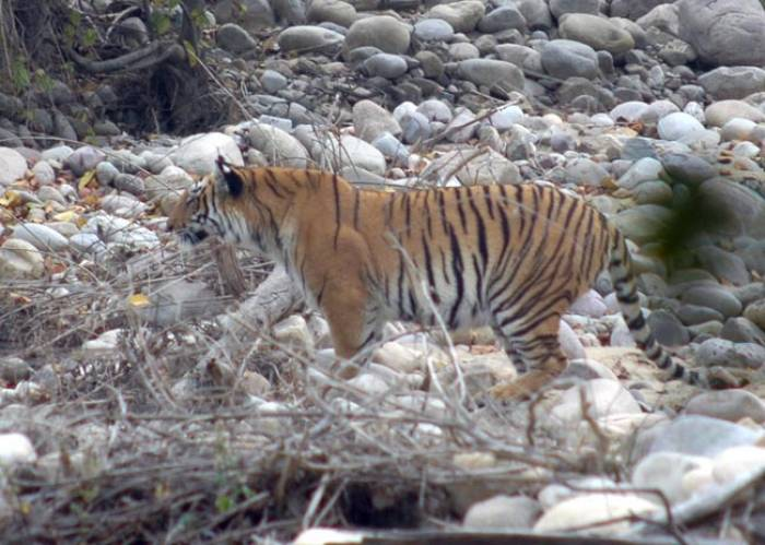 Kiplings-Indien-tiger-Corbett