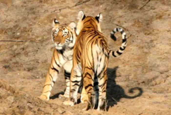 tigerpark, Ranthambhore