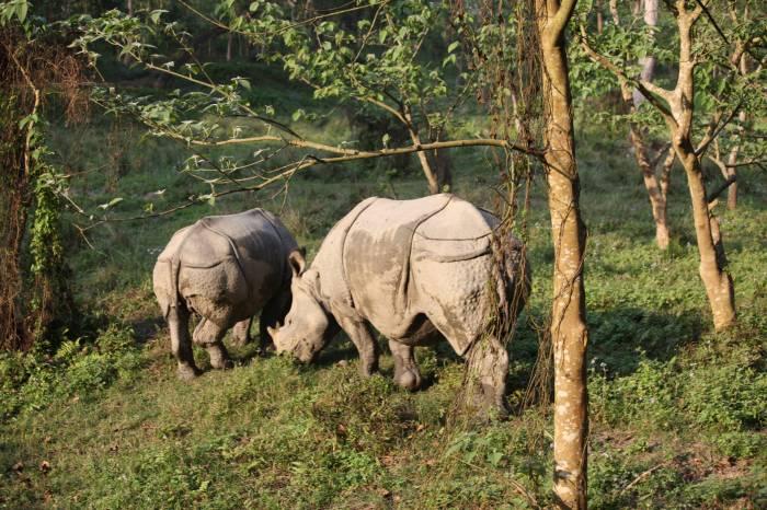 Næsehorn Chitwan