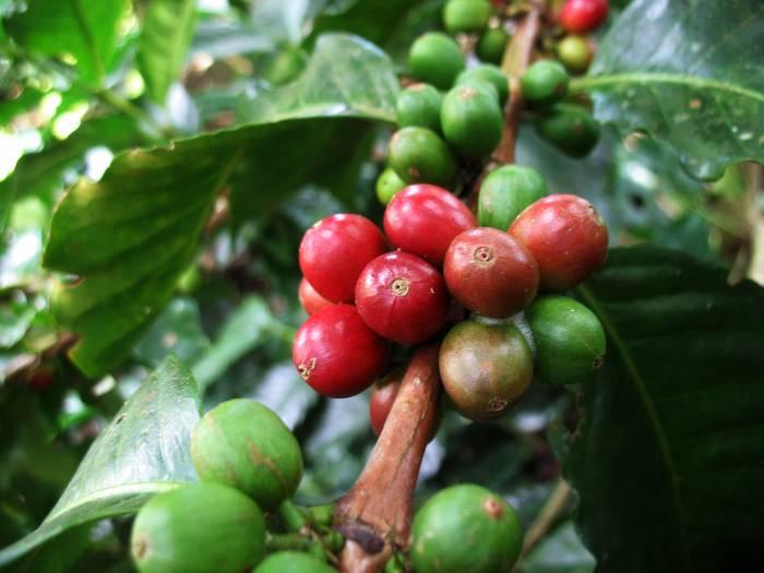 Dag 5 kaffe plante - plantage