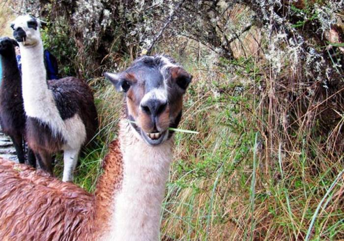 Inkasti-trek-med-lamaer