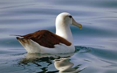 Albatros er et af de dyr du vil opleve på din rejse til Antarktis