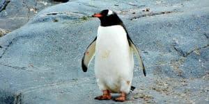 Der er mange pingviner på Antarktis
