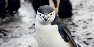 Du kan møde mange forskellige pingvin-arter i Antarktis