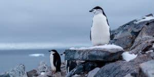 En pingvin der troner på Petermann Island