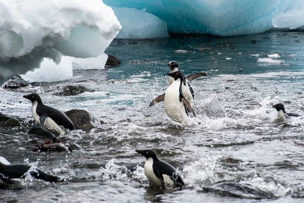 Der er mange forskellige pingviner på Petermann Island
