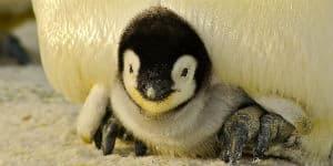 Mød pingvinunger på Antarktis