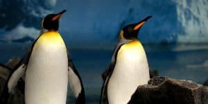 Kongepingviner på Antarktis