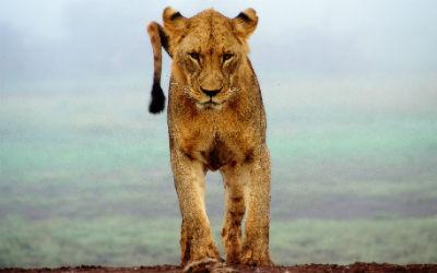 Se løver i Nyeri på din rejse til Kenya