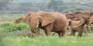 Elefant i højt græs