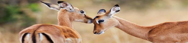 Antiloper vasker hinanden