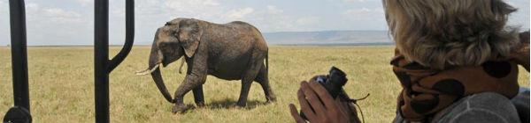 Elefant i Kenya