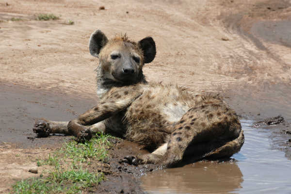 Hyæne fra Kenya