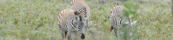 Se den smukke zebra på din rejse til Kenya