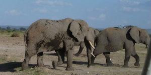 Husk vaccine når du skal se på elefanter i Kenya
