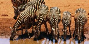 Husk vaccination når du rejser til Kenya for safari