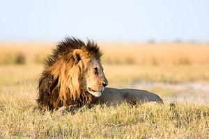 Løve ligger i solen