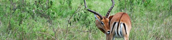 Kenyansk gazelle
