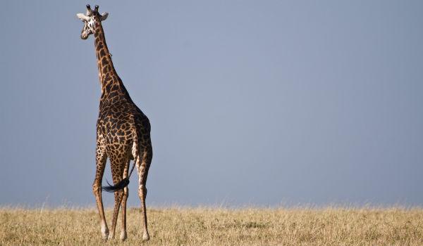 Giraf nær Nakuru