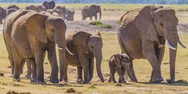 Elefanter vandrer
