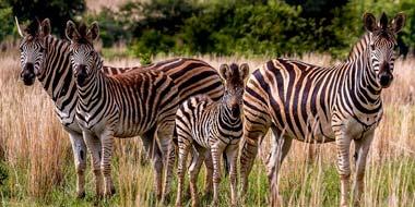 Zebraer på safari