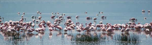 Flamingo bader i Lake Nakuru