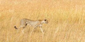 Leopard i Amboseli