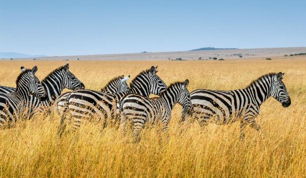 Zebra i Kenya