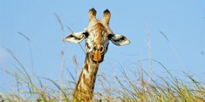 Det varme klima gør det muligt for giraffer at leve i Kenya