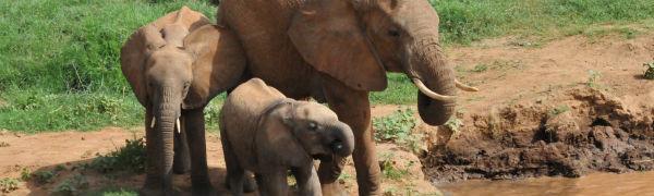 Elefant med unger ved flod