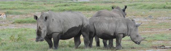 Tag på safari på din Kenya rejse