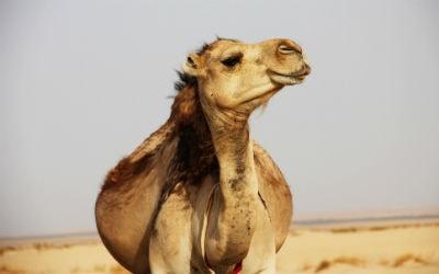 Marrokansk kamel
