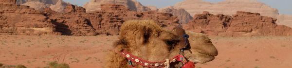 Man kan ridde på kameler og dromedarer i ørkenen i Marokko