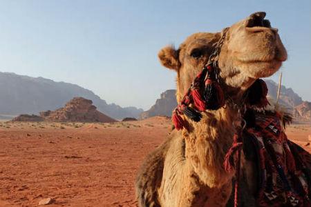 Det varme klima i den sydvestlige del af Marokko gør området perfekt til kameler