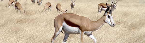 Gazelle i Etosha
