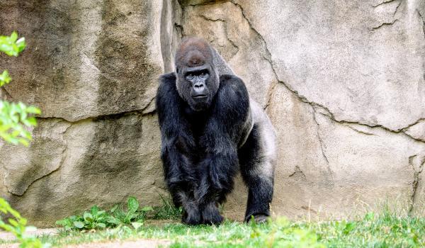 Oplev Gorilla Trek på din rejse til Uganda og Rwanda