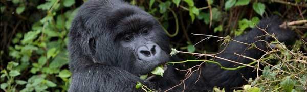 Rwandansk gorilla