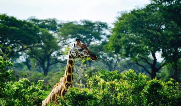 Oplev Murchison Falls Nationalpark på din rejse til Uganda og Rwanda
