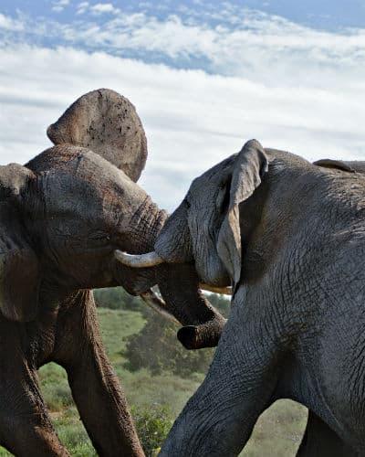 På din safarirejse til Sydafrika kan du opleve vilde elefanter