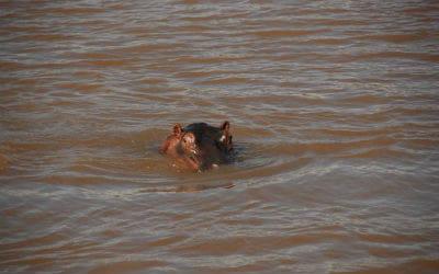 Flodhest i St Lucia i Sydafrika