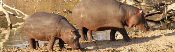Rejser til Sydafrika tager dig helt tæt på flodheste